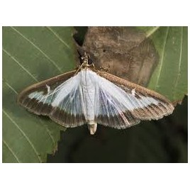 Feromona Cydalima Persepctalis - Plaga del boix
