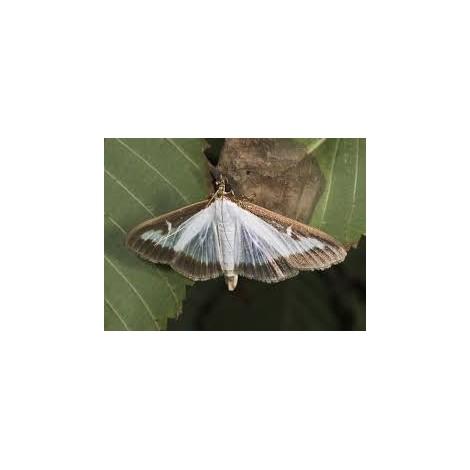 Feromona Cydalima Persepctalis - Plaga del boj