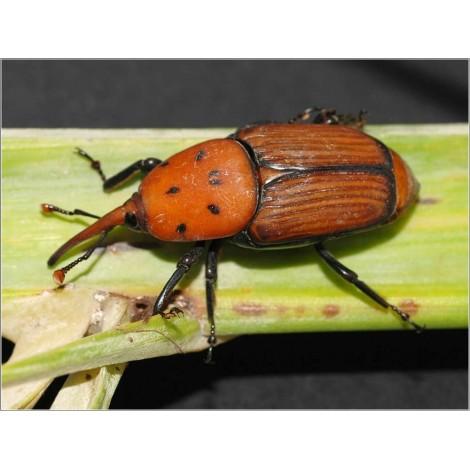 Feromonas Picudo rojo Palmeras (Rhynchophorus ferrugineus) 2 ut