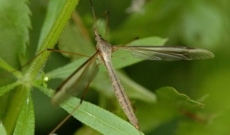 Cranefly on lawn
