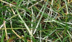 Powdery mildew on lawn (Erisyphe graminis)